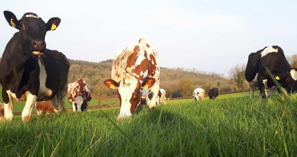 raw milk from for gut sake herd